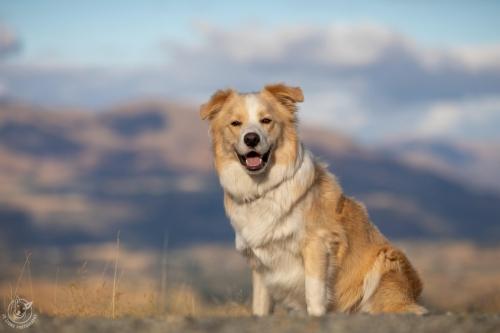 Dog Photography Retreat QueenstownOllie the Border Collie at Coronet Peak