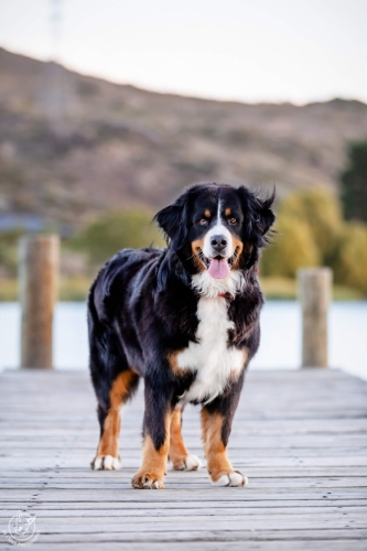 Dog Photography Retreat QueenstownSaphy the Bernese Mountain Dog at the Cromwell Heritage Precinct