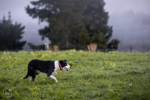 Dog Photography Retreat QueenstownEarly morning visit to a Working Sheep Farm in New Zealand's South Island
