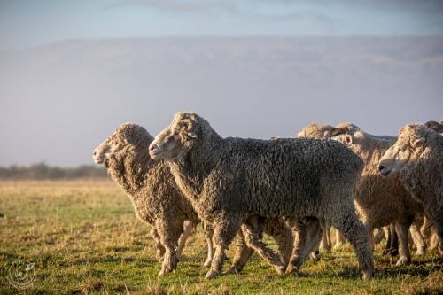 Web-week2-sheepfarm-sheep-jolyons-035