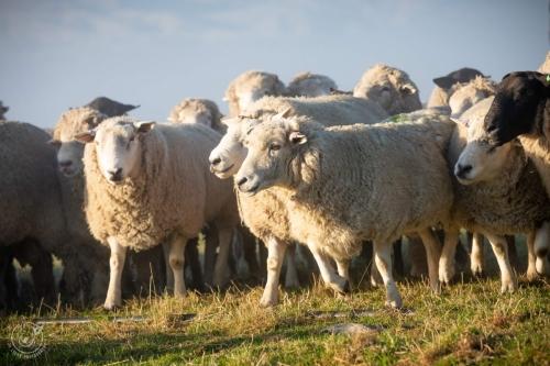 Web-week2-sheepfarm-sheep-jolyons-036