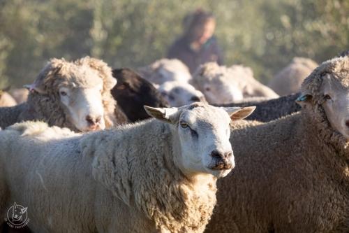 Web-week2-sheepfarm-sheep-jolyons-040