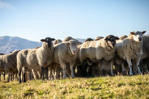 Web-week2-sheepfarm-sheep-jolyons-042