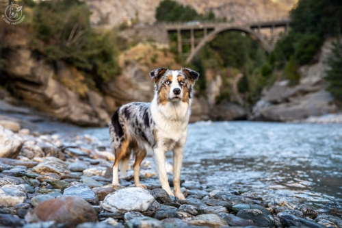 Dog Photography Retreat QueenstownBonus the Border Collie at the Shotover River Bridge in Queenstown