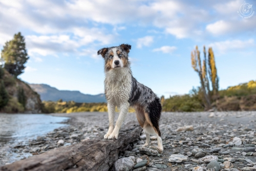 Dog Photography Retreat QueenstownBonus the Border Collie at the Lower Shotover River in Queenstown