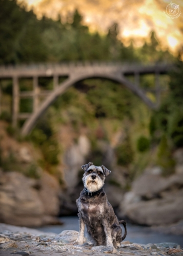 Dog Photography Retreat QueenstownHans the Schnauzer at the Shotover River Bridge in Queenstown
