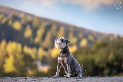Dog Photography Retreat QueenstownHans the Schnauzer at the Shotover River in Queenstown