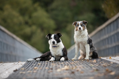 Dog Photography Retreat QueenstownTicket and Bonus the Border Collies at the Lower Shotover River Bridge in Queenstown